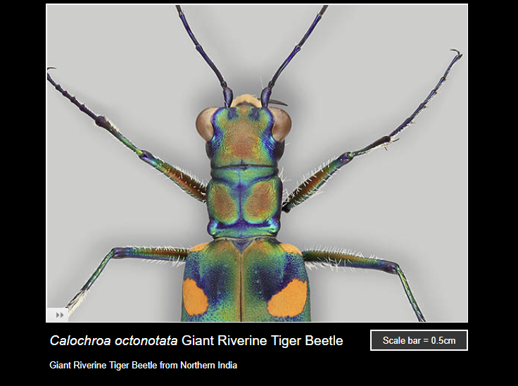 Ask a biologist screenshot showing a Giant Riverine Tiger Beetle